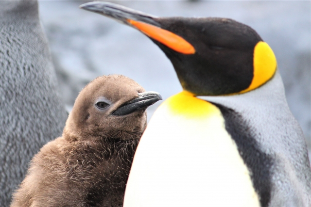 【ペンギン博士ちゃん】濱中多瑛子(はまなかたえこ)が語るペンギンの生態は?